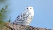 Snowy Owl by Michael Good