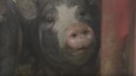 The Last Pig