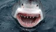 Un temibile squalo